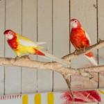 papagaje nove